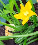 Zucchini plant. Zucchini flower. Green vegetable marrow growing on bush stock photos