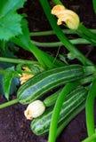 Zucchini plant. Zucchini flower. Zucchini growing. Green vegetable marrow growing on bush royalty free stock photo