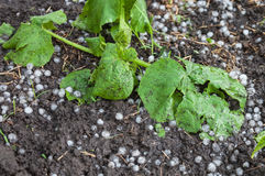Zucchini plants damaged by hail Stock Image