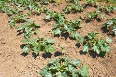 Zucchini plants on soil Stock Photos