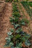 Zucchini ro?liny grupa w ogr Fotografia Stock