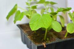 Zucchini rozsady w plastikowym garnku na nadokiennym parapecie, botaniki jarzynowy doro?ni?cie rolnictwa comcept zdjęcie royalty free