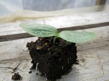 Zucchini-Sämling im Boden-Block Stockbild