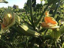 Zucchini sbocciante nel campo Primo piano fotografia stock libera da diritti