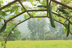 The zucchini Royalty Free Stock Images