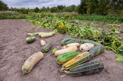 Zucchini som växer i grönsakträdgården Arkivbild
