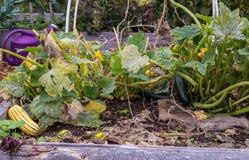 Zucchini som växer i en trädgård Royaltyfri Foto