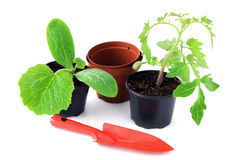 Zucchini and tomato plant seedlings on white background Royalty Free Stock Images