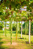 Zucchini tree plant on bamboo arch. Garden Royalty Free Stock Photography