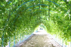 Zucchini tunnel, Tree tunnel,Agriculture,farm,rice ,Thai farmers,Dipterocarpus alatus stock photography