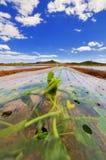 Zucchini in un Cloche Fotografia Stock Libera da Diritti
