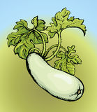 Zucchini. Vector drawing Royalty Free Stock Images