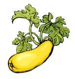 Zucchini. Vector drawing Stock Photo