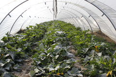 Zucchini. Yellow zucchinis in a greenhouse royalty free stock images