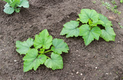 Zucchini z ampuły zielenią opuszcza dorośnięcie Zdjęcia Royalty Free