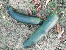 Zucchini. On top of the grass an fallen leaves royalty free stock photography