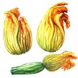 Zucchini zucchiniblomma, gula pumpablommor som isoleras, hand dragen vattenfärgillustration på vit Royaltyfri Bild