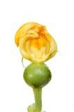Zucchiniabschnitt Lizenzfreie Stockfotografie