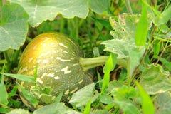Zucchinianlage Lizenzfreies Stockfoto