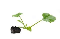 Zucchinianlage stockbilder