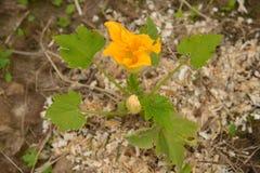 Zucchiniblume auf Sägemehlboden Lizenzfreies Stockfoto