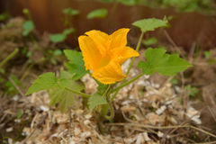 Zucchiniblume auf Sägemehlboden Stockfotografie