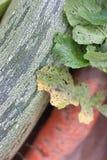 Zucchinicloseup Royaltyfria Foton