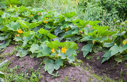 Zucchinin med gräsplan lämnar att växa i grönsakträdgården Royaltyfria Bilder