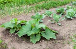 Zucchinin med stor gräsplan lämnar att växa i trädgården Royaltyfri Fotografi
