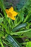 Zucchinis Obraz Stock