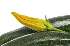 Zucchinis and zucchini flower Royalty Free Stock Images