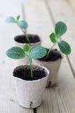 Zucchinisprösslinge Lizenzfreies Stockfoto