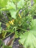 Zucchinisquash i trädgården Arkivbild