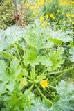 Zucchiniväxt Royaltyfria Bilder