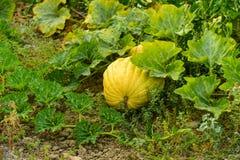 Zucchiniväxt, ekologisk grönsakträdgård Royaltyfri Fotografi