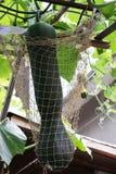 Zucchino che appende in una rete Fotografie Stock Libere da Diritti