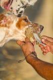 Zucht- Betrieb der Nadelanzeige Hunde Stockbild