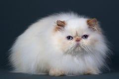Zucht der persischen Katze Lizenzfreies Stockfoto