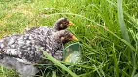 Zucht von Haustieren im Haus für Eigenverbrauch lizenzfreie stockfotos