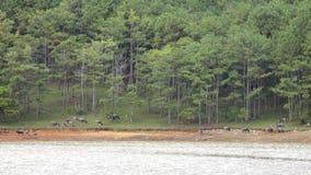 Zucht von wilden Ebern nahe Langbiang-Berg, DA-Latstadt, Lam Dong-Provinz, Vietnam stock video
