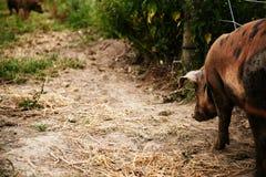 Zuchtschweine auf einem Bauernhof Lizenzfreies Stockfoto
