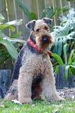 Zuchtshow-Hundegelockter wolliger Mantel Sheepie Airedale Terrier Lizenzfreies Stockfoto