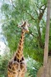 Zuchwała żyrafa gapi się przy kamerą Fotografia Stock