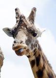 Zuchwała żyrafa gapi się przy kamerą Obraz Royalty Free