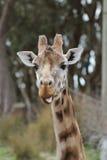 Zuchwała żyrafa szturcha out swój jęzor Zdjęcie Stock