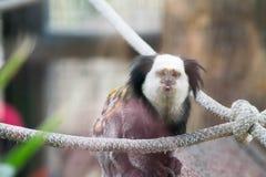 Zuchwała małpa Zdjęcie Stock