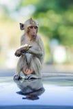 Zuchwały małpi siedzący łasowanie 2 Fotografia Royalty Free