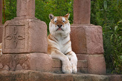 zuchwały tygrys zdjęcia stock