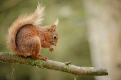 Zuchwała Czerwona wiewiórka Zdjęcia Royalty Free