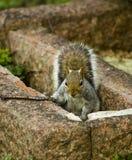 zuchwała wiewiórka Obraz Stock